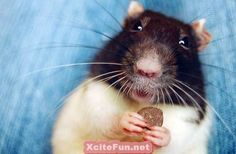 Cute and  Funny Rat photos