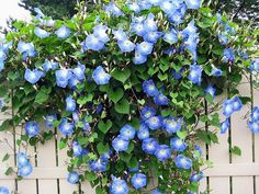 I love Morning Glory vines. They add so much to a garden. They will attach to and climb fences, brick walls, trellis, etc. Garden Fencing, Garden Trellis, Flower Trellis, Garden Shrubs, Blue Garden, Dream Garden, Garden Shop, White And Blue Flowers, Beautiful Flowers