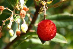 http://lapalma-botanik.info/resources/Arbutus-unedo.jpg
