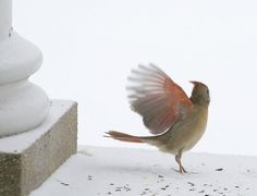 taking off - female cardinal:  Love this picture!