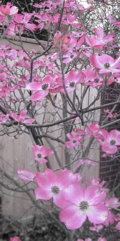 Pink Dogwoods---love this.