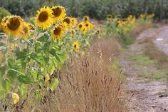 Sunflowers at Carmel Cottages  #sunflowers #cottage