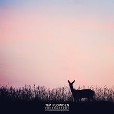 Roe deer feed throughout the 24 hours but are classified as crepuscular because they are most active at #dusk and #dawn.  Subject: Roe deer at dusk Location: #Norfolk England  #timplowdenphotography #deer #roedeer #mammal #silhouette #evening #horizon #sky #solo #ears #english #field #twilight #nature #landscape #wildlife #wild #travel #travelgram #igers #igdaily  #beautiful #canon #animal #animals