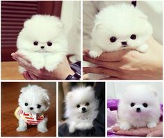 #pomeranian #dog #white #cute #puppy This little guy is SOOO cute!!!  He looks like a little white puffball!!