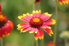Straw Flowers | Flickr - Photo Sharing!