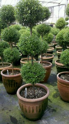 Triple myrtle topiary, Old World Gardens