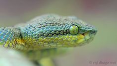 bamboo pit viper by Raj Dhage Snake Photos, Pit Viper, Snakes, Bamboo, Photography, Animals, Photograph, Animales, Viper