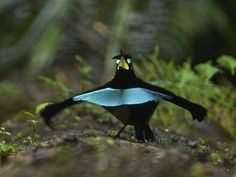 The western population of the superb bird-of-paradise in the Arfak Mountains may constitute a new species (Lophorina neidda inopinata), whose feather patches absorb up to 99.95 percent of directly incident light