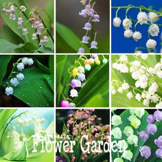 New Arrival!6 Colors Mixed Bell Orchid Seeds Campanula Flowers Potted Flower Plants Convallaria Seed-100Seed/Pack,#SBQ2UJ