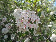 Like White Flowers? Try One of These 12 Viburnum Shrubs!: Burkwood Viburnum