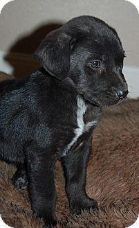 Cedar Creek, TX - Labrador Retriever Mix. Meet Rudolph a Puppy for Adoption.