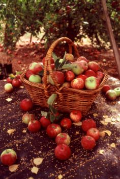 Oh so looking forward to a good ole Macintosh Apple! my fave Apple Farm, Apple Orchard, Harvest Time, Fall Harvest, Bountiful Harvest, Apple Tree, Red Apple, Autumn Day, Hello Autumn