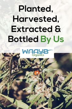 WAAYB Organics CBD Oil will only use hemp grown in Colorado from our Certified Organic family farm. Organic Farming, Organic Gardening, Gardening Tips, Cannabis Plant, Plant Species, Over Dose, Hemp Oil, Stress And Anxiety, Natural Living