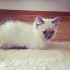 I'm not even a cat person but this cat is adorable. #ragdoll #cat