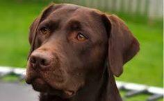 I Love My Chocolate Labrador Retriever Coffee Mug Dog Breed Names, Dog Breeds, Dog Coffee, Coffee Mugs, Chocolate Labrador Retriever, I Love Dogs, Dog Lovers, My Love, Pictures