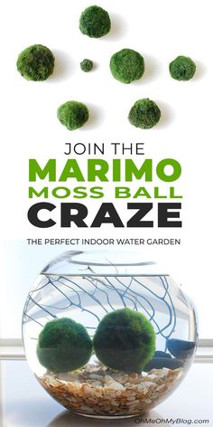 """If you want to jump on the moss ball craze, click thru to find out what these little """"creatures"""" are all about, how to create your aquarium, and how to care for your moss balls! #marimo #marimomossballs #indoorwatergarden #indoorplants #gardening #gardenideas #diygardenideas #mossballs #moss #indoorgardenideas #watergardens #ohmeohmy"""