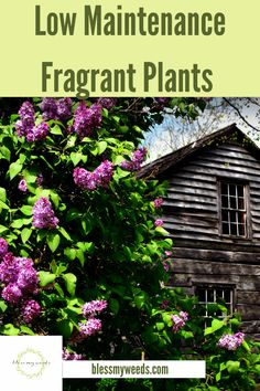 If you are looking for plants that make your house smell fantastic, almost heavenly, then read this post. You can also find a list of plants for outdoors that has the same fragrance. Shrubs For Landscaping, Planting Shrubs, Low Maintenance Landscaping, Garden Shrubs, Landscaping Ideas, Fall Plants, Foliage Plants, Growing Flowers, Growing Plants
