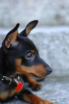 Min Pin - This kind of looks like Cheeto!!!