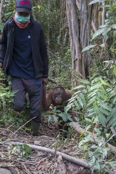 We just love happy stories like this one! You may remember Amy, the orangutan who devastatingly kept chained in a small wooden cage, so cramped she couldn't even straighten her legs.