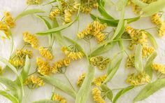 There are many benefits to drinking Linden flower tea, let's explore them together (with proper citations), along with some crucial precautions. Home Remedies, Natural Remedies, Herbal Witch, Linden Leaf, Detoxify Your Body, Buy Tea, Tea Benefits, Flower Tea, My Cup Of Tea