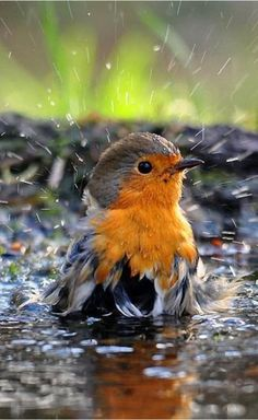 Robin taking a bath.European Robin (Erithacus rubecula), known simply as the robin in the British Isles Kinds Of Birds, All Birds, Cute Birds, Pretty Birds, Little Birds, Beautiful Birds, Animals Beautiful, Funny Birds, Pretty Baby