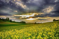 Rape field by Kitty Bern - Sunset and Rape field Click on the image to enlarge. Prairie Meadows, Bern, Image Photography, Great Photos, Fields, Country Roads, Kitty, Spaces, Sunset
