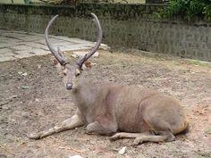 Sambar Deer   Description Sambar deer.JPG