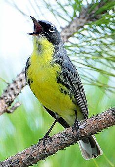 Kirtlands Warbler... named after Jared P. Kirtland, an Ohio doctor and amateur naturalist.