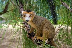 Lemur Coronatus of Madagascar