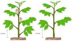 VIDA FELIZ: na Horta: Como Podar os TOMATEIROS Leaf Vegetable, Vegetable Garden, Garden Plants, Ornamental Plants, Green Life, Aquaponics, Science And Nature, Bonsai, Flower Arrangements