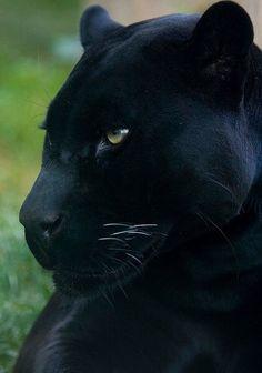 Magnifique panthere noire