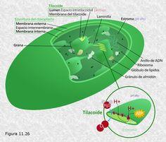 11 Mejores Imágenes De Estructura Celular Ribosomas