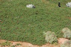 Ruschia lineolata dense matt
