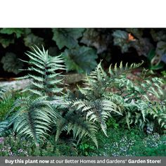 Japanese Painted Fern - shade loving    It grows best in Zones 5-8 and gets about 12 inches tall.      Top picks: 'Silver Falls' has especially metallic leaves; 'Burgundy Lace' has lots of rich purple-red tones in the leaves.    Plant it with: 'Burgundy Glow' ajuga or 'Green Spice' coralbells -- all have silvery and purple tones in their foliage.