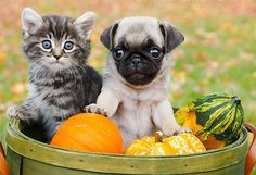 Pug & Kitten. This is double the cute just in time for November!