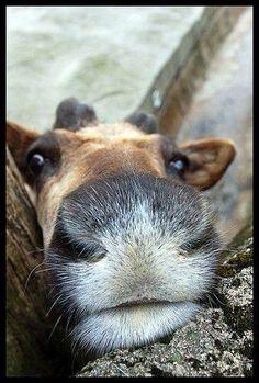 baby reindeer nose