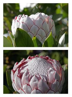 The King Protea. South Africa.