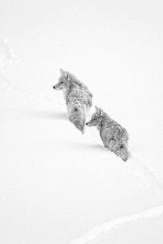 Beautiful Nature (waasabi: Winter Coyotes by Ignacio Yúfera) Amazing Animals, Animals Beautiful, Cute Animals, Beautiful Wolves, Predator Hunting, Coyote Hunting, Coyotes, White Wolf, Black And White