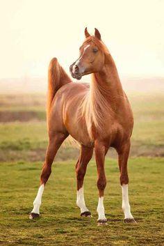 Arabian Horses - Bashir al Shaqab https://www.behance.net/gallery/15296065/Arabian-Horses-Bashir-al-Shaqab
