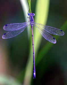 Fibro-dragonfly!