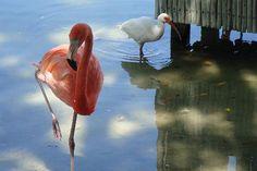 Flamingo in Boca Raton, Florida.