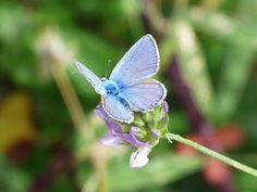 #blauet #blaveta commune #blue butterfly #butterfly #flower #libar #polyommatus icarus