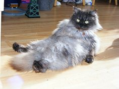 16 Pictures of Cats Sitting Like Humans - We Love Cats and Kittens Silly Cats, Cute Cats, Adorable Animals, Pretty Cats, Beautiful Cats, Baby Cats, Cats And Kittens, Cat Brain, Owning A Cat