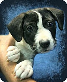 Lufkin, TX - Labrador Retriever Mix. Meet Morgan, a puppy for adoption. http://www.adoptapet.com/pet/15936057-lufkin-texas-labrador-retriever-mix