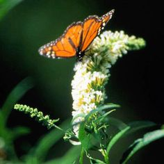 Butterfly on a butterfly bush (buddlea)