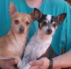 Honey & Sunny have endured a lot of heartbreak, but could always count on each other.  They are bonded for life.  Both are Chihuahuas, about 7-8 years of age, spayed/neutered (Honey is a girl and Sunny is a boy), good with other dogs, and debuting for adoption today at Nevada SPCA (www.nevadaspca.org).  Honey & Sunny needed us when their previous owner became homeless.  Both Honey & Sunny were suffering from depression, but each day they are improving and building up their spirits.