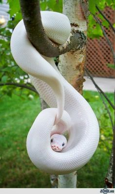 Albino Snake or as I like to call it:  Oh, Hell to the NO!