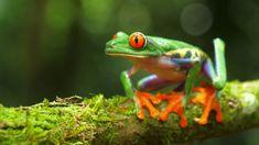 Ad: Red-eyed tree frog in its natural habitat in the Caribbean rainforest. Agalychnis callidryas, known as the red-eyed treefrog, Gray Tree Frog, Red Eyed Tree Frog, Funny Frogs, Cute Frogs, Tree Frog Terrarium, Terrarium Ideas, Frog Crafts Preschool, American Green Tree Frog, Frog Outline