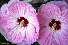 Tie Dye Hibiscus (Hardy)