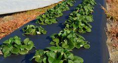 Основные преимущества посадки садовой земляники на нетканый материал, виды ткани, как правильно подобрать материю и сделать грядки